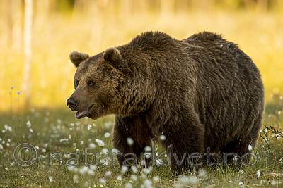 KA_160626_545 / Ursus arctos / Brunbjørn
