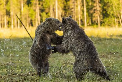 KA_160626_562 / Ursus arctos / Brunbjørn