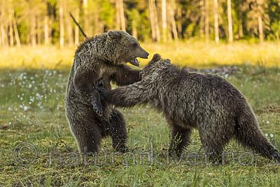 KA_160626_564 / Ursus arctos / Brunbjørn