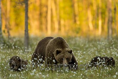 KA_160626_607 / Ursus arctos / Brunbjørn