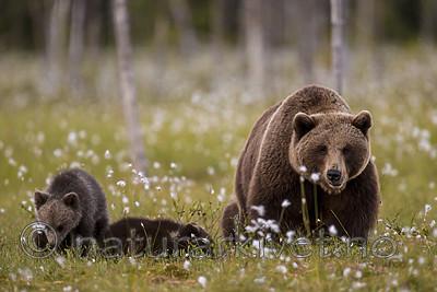 KA_160626_626 / Ursus arctos / Brunbjørn