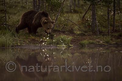 KA_160626_68 / Ursus arctos / Brunbjørn