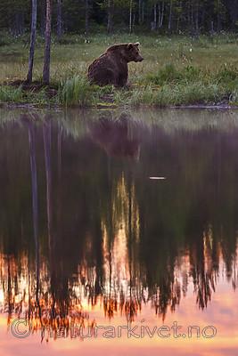KA_160626_80 / Ursus arctos / Brunbjørn