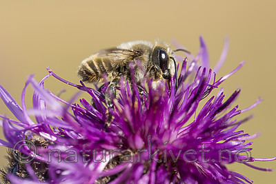 KA_160708_38 / Centaurea scabiosa / Fagerknoppurt <br /> Megachile lagopoda / Storbladskjærerbie