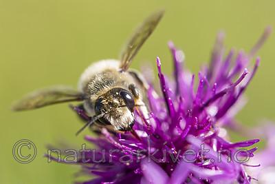 KA_160708_41 / Centaurea scabiosa / Fagerknoppurt <br /> Megachile lagopoda / Storbladskjærerbie