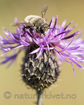 KA_160708_45 / Centaurea scabiosa / Fagerknoppurt <br /> Megachile lagopoda / Storbladskjærerbie