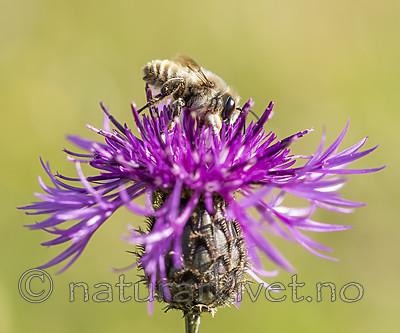 KA_160708_52 / Centaurea scabiosa / Fagerknoppurt <br /> Megachile lagopoda / Storbladskjærerbie