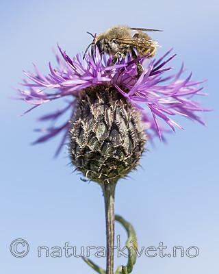 KA_160708_60 / Centaurea scabiosa / Fagerknoppurt <br /> Megachile lagopoda / Storbladskjærerbie