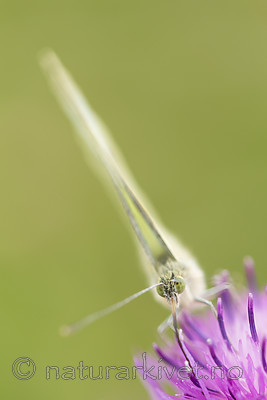 KA_160722_103 / Centaurea jacea / Engknoppurt <br /> Pieris brassicae / Stor kålsommerfugl