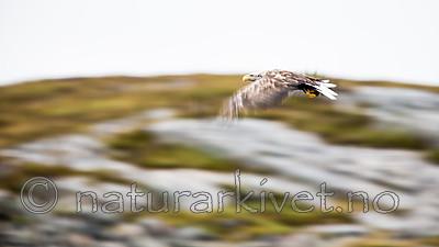 KA_160815_116 / Haliaeetus albicilla / Havørn