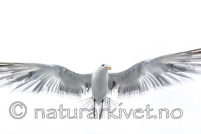 KA_160815_99 / Larus argentatus / Gråmåke