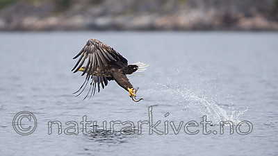 KA_160816_159 / Haliaeetus albicilla / Havørn
