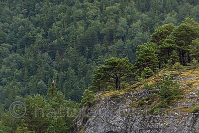 KA_160816_194 / Haliaeetus albicilla / Havørn