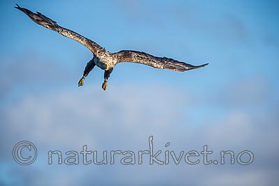 KA_160816_241 / Haliaeetus albicilla / Havørn