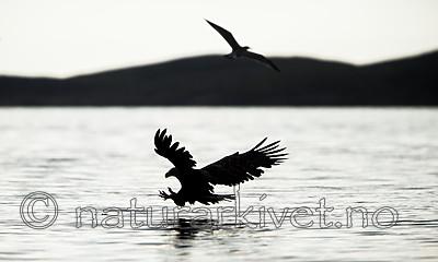 KA_160816_25 / Haliaeetus albicilla / Havørn
