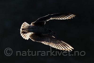KA_160816_327 / Larus argentatus / Gråmåke