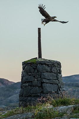 KA_160816_471 / Haliaeetus albicilla / Havørn
