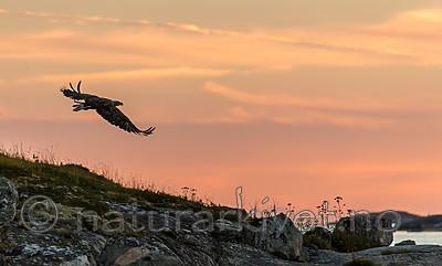 KA_160816_473 / Haliaeetus albicilla / Havørn