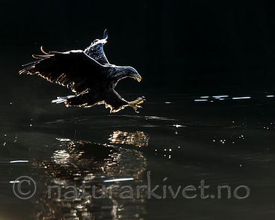 KA_160817_54 / Haliaeetus albicilla / Havørn
