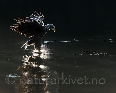 KA_160817_55 / Haliaeetus albicilla / Havørn