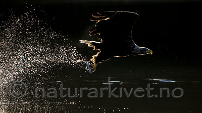 KA_160817_58 / Haliaeetus albicilla / Havørn