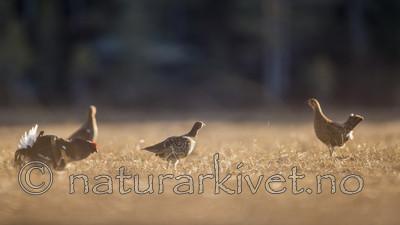 KA_170423_214 / Tetrao tetrix / Orrfugl