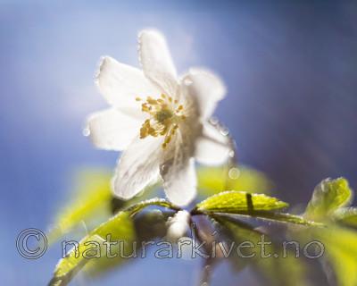 KA_170506_26 / Anemone nemorosa / Hvitveis