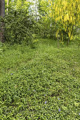 KA_170614_1 / Laburnum alpinum / Alpegullregn <br /> Vinca minor / Gravmyrt