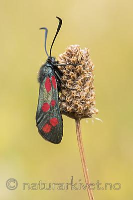 KA_170724_3 / Plantago lanceolata / Smalkjempe <br /> Zygaena filipendulae / Seksflekket bloddråpesvermer