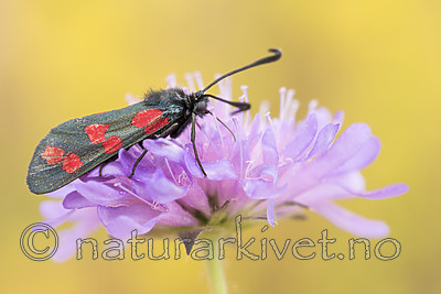 KA_170724_53 / Knautia arvensis / Rødknapp <br /> Zygaena filipendulae / Seksflekket bloddråpesvermer
