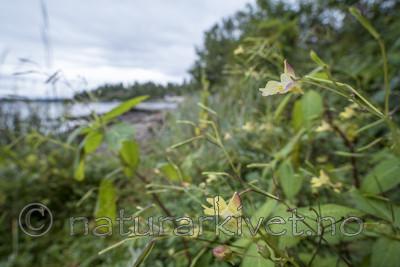 KA_170908_21 / Impatiens parviflora / Mongolspringfrø