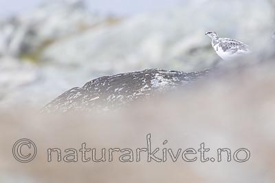 KA_170924_205 / Lagopus muta / Fjellrype