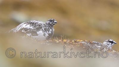 KA_170924_278 / Lagopus muta / Fjellrype