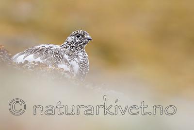 KA_170924_281 / Lagopus muta / Fjellrype