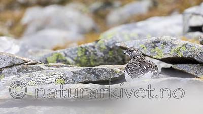 KA_170924_293 / Lagopus muta / Fjellrype