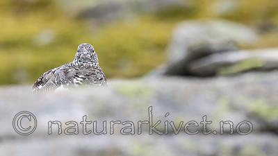 KA_170924_302 / Lagopus muta / Fjellrype
