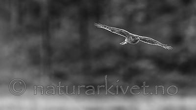 KA_171014_132-sh / Accipiter nisus / Spurvehauk