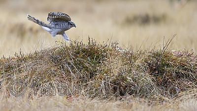 KA_171015_167 / Accipiter nisus / Spurvehauk