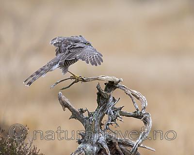 KA_171015_38 / Accipiter nisus / Spurvehauk