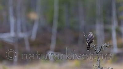 KA_171015_4 / Accipiter nisus / Spurvehauk