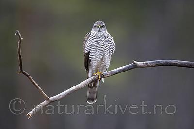 KA_171015_53 / Accipiter nisus / Spurvehauk