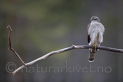 KA_171015_68 / Accipiter nisus / Spurvehauk