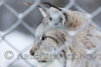 KA_171230_103 / Lynx lynx / Gaupe