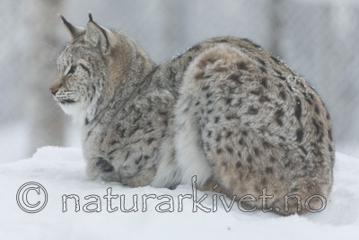 KA_171230_105 / Lynx lynx / Gaupe