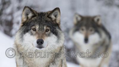 KA_171230_15 / Canis lupus / Ulv
