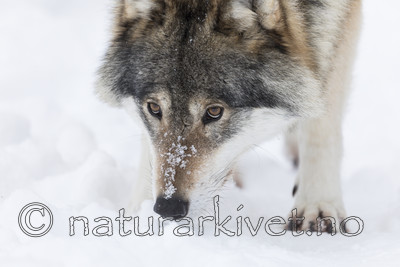 KA_171230_34 / Canis lupus / Ulv
