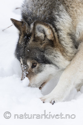 KA_171230_45 / Canis lupus / Ulv