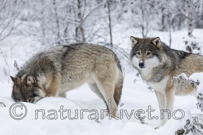 KA_171230_48 / Canis lupus / Ulv