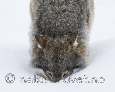 KA_171230_59 / Canis lupus / Ulv