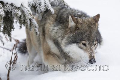 KA_171230_78 / Canis lupus / Ulv
